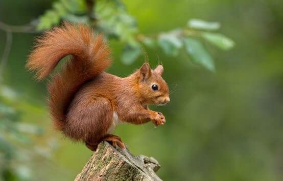 Wildtiere: Eichhörnchen