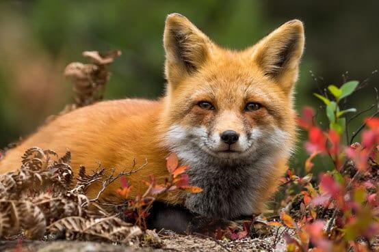 Wildtiere: Fuchs