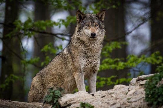Wildtiere: Wolf